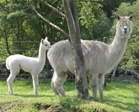 Loyola and cria